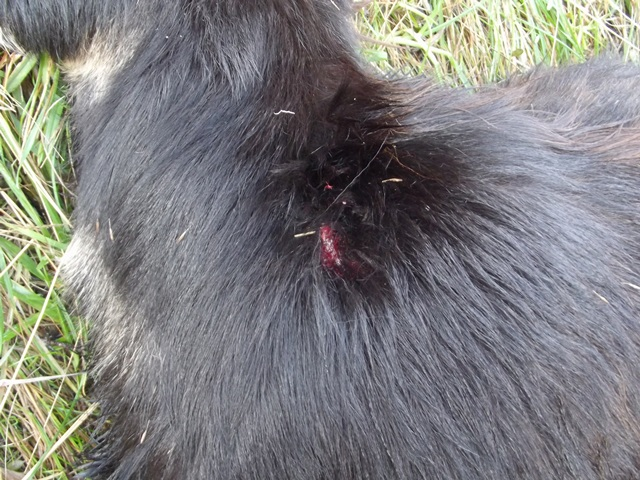 Goat entry wound 1 comp web
